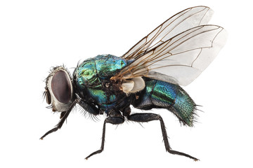 blow fly species Lucilia caesar