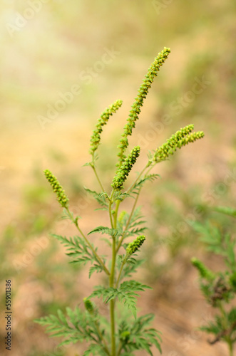 Giant Ragweed flowers