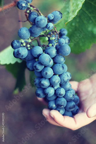 grapes in hands. harvest