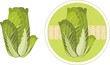 Green cabbage isolated on the white and circle sticker