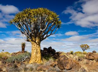 Quiver Tree Portrait, Namibia