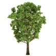 Oak Tree Isolated