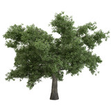 Black Poplar Tree Isolated