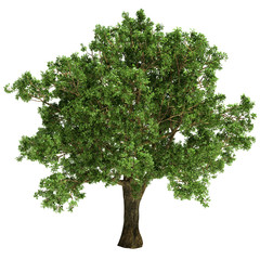 Small Oak Tree Isolated