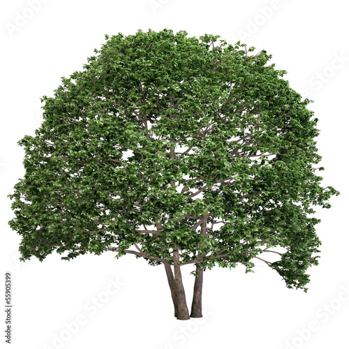 Alnus Tree Isolated