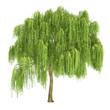 Leinwanddruck Bild - Weeping Willow Tree Isolated