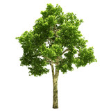Tall canadian Maple Tree Isolated