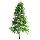 Scotch Fir Tree Isolated