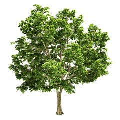 Canadian Big Maple Tree Isolated