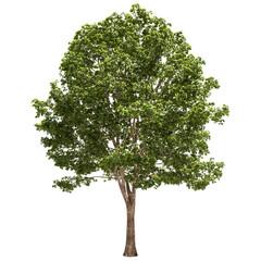 Basswood Tree Isolated