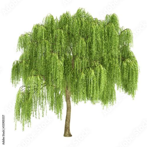 Leinwanddruck Bild Weeping Willow Tree Isolated