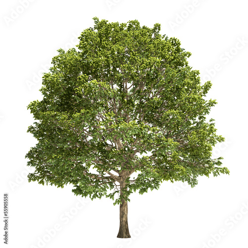 Hornbeam Tree Isolated