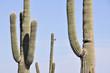 Saguaro cactus, Organ Pipe Cactus National Park, Arizona