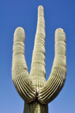 Saguaro cactus, Organ Pipe Cactus National Park, Arizona