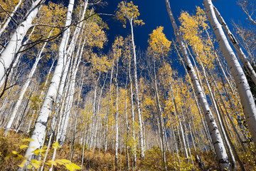 Aspen Trees In Fall Colorado Mountains