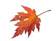Farben des Herbstes: Rotes Ahornblatt