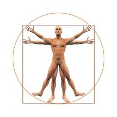 Menschliche Anatomie abgebildet wie vitruvian man - Freisteller