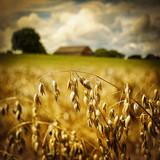 Macro of golden oat ears