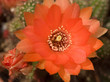Orange flower cactus