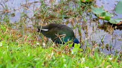 purple gallinule in Everglades NP,USA