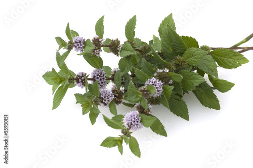 Pfefferminze, Mentha x piperita, Echte Pfefferminze,