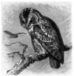 Bird : Owl - Hibou - Eule