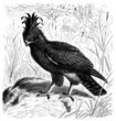 Bird : Eagle - Aigle - Adler
