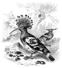 Bird : Hoopoe - Huppe Fasciée - Wiedehopf