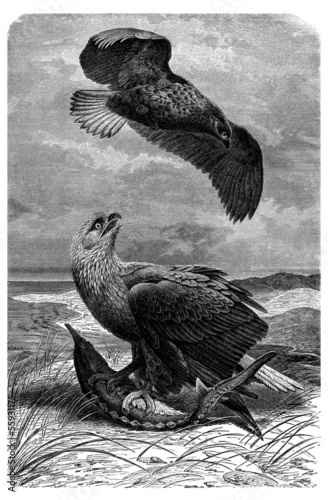 Bird : Fisher Eagle - Aigle Pêcheur - Seeadler