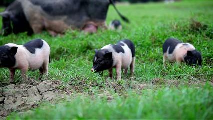 Vietnamese pigs