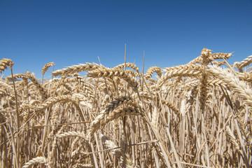 Campo de trigo con una excelente producción