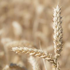 Espigas de trigo listas para la cosecha.