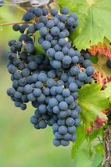 Regent - Weintrauben