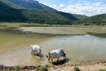 Vacche si abbeverano nel Lago meteorico di Secinato