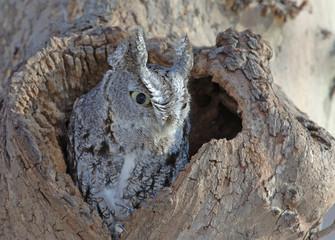 Screech Owl, Grey Phase