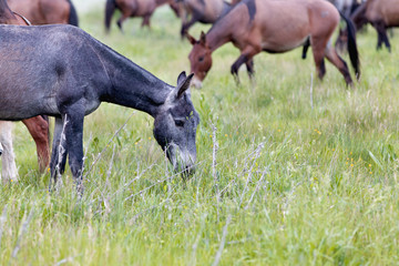 horses and donkie grazing in a meadow grass
