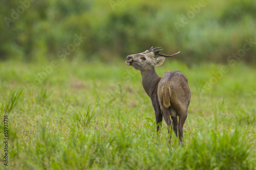 The lovely deer in the green field, thailand