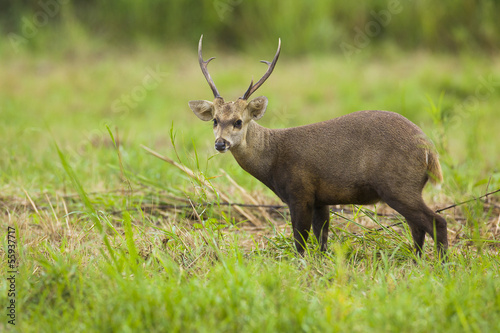 looking deer in the green field, thailand