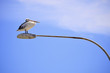 Pelican perched on street lamp on Kangaroo Island