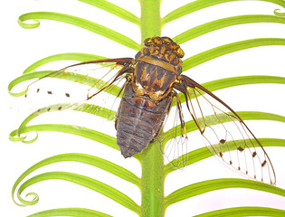 Cicada insect of Song
