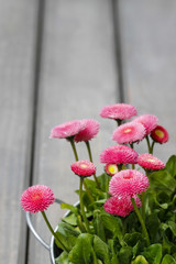 Pink daisies on wooden table. Selective focus, copy space