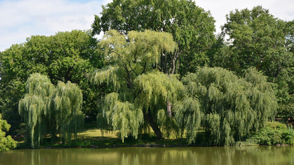 Weeping willow tree in Central park