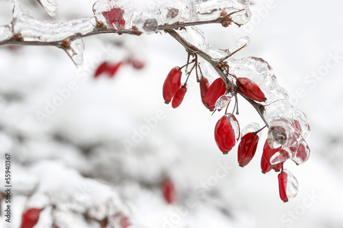 Berberis branch under heavy snow and ice. Selective focus