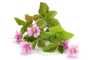 Flowers of a Rubus arcticus with leaves