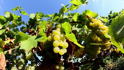Sweet and flavourful grapes before harvest