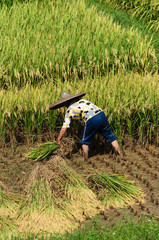 Rice Havest in Guilin farm, china
