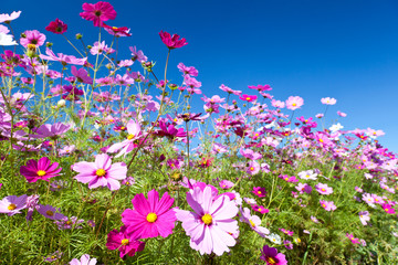 Cosmos flower and the sky