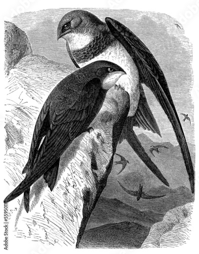 Bird : Swift - Martinet - Segler