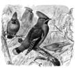 Bird : Waxwing (Bombyicilla) - Jaseur - Seidenschwanz