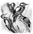 Bird : Dendrocopos - Pic - Spechte
